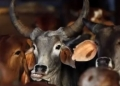cow-ban.jpg