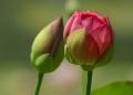 flower-n-bud.jpg