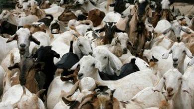 Goat-slaughter.jpg