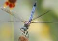 Odonata.jpg