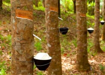 rubber-tree.jpg